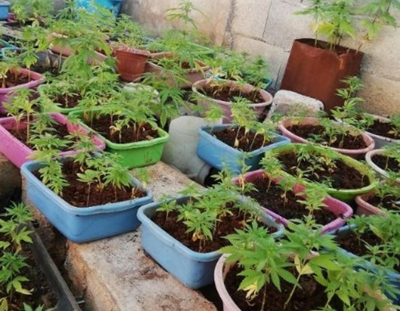 Gaziantep'te 650 kök hint keneviri ele geçirildi