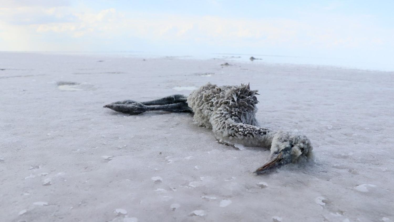 Tuz Gölü'nde yüzlerce flamingo telef oldu