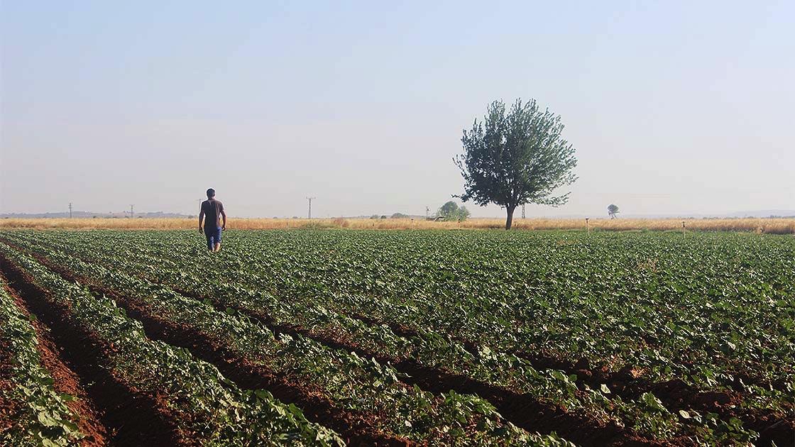 Pamuk diyarı Şanlıurfa'da toprak 'nöbetleşe ekim'le korunuyor