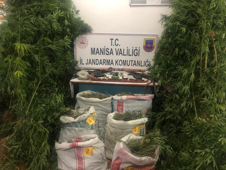Manisa'da zehir tacirlerine operasyon! 500 kenevir ele geçirildi