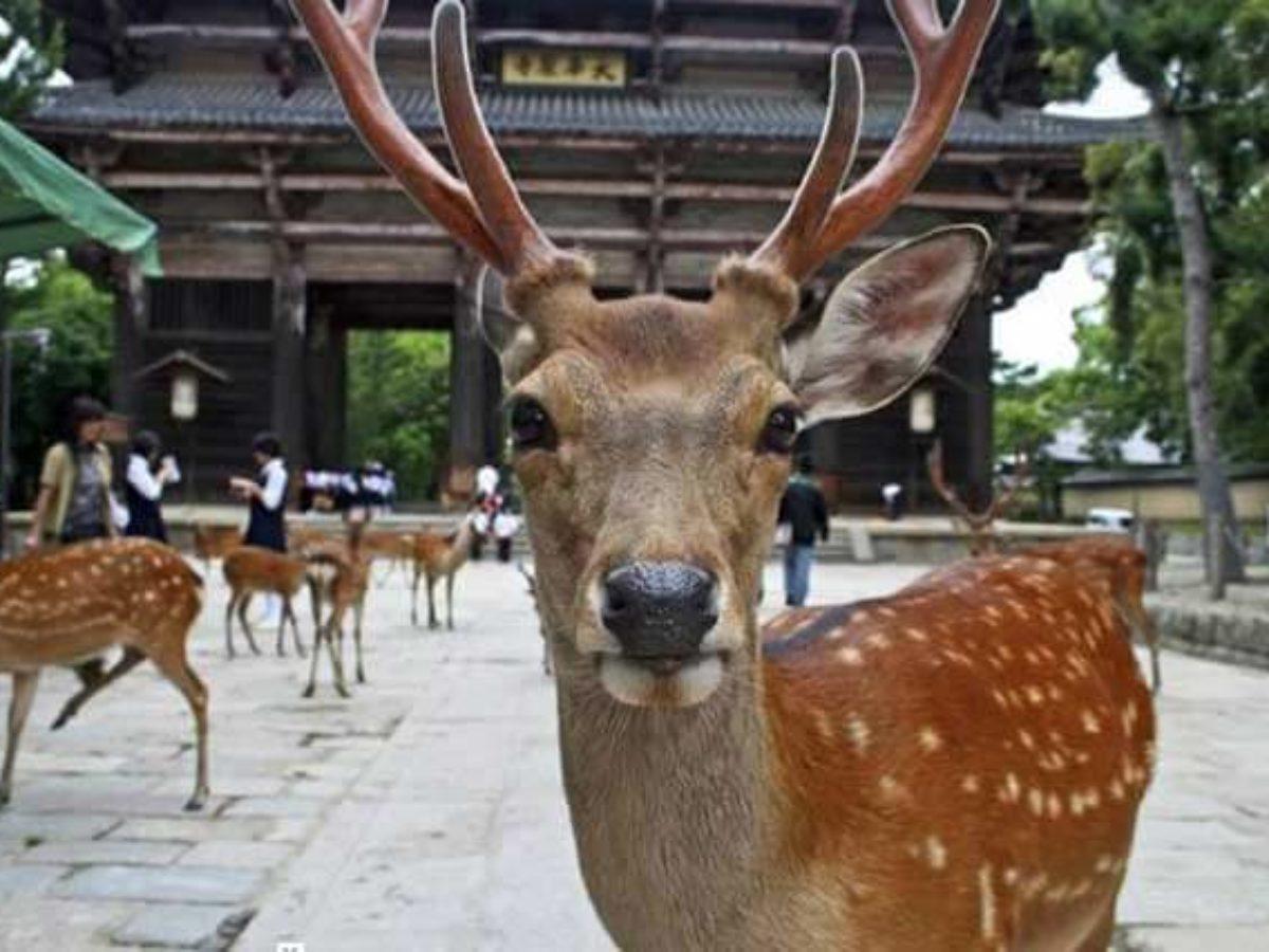 Japonya'nın kutsal sayılan koruma altındaki Nara geyikleri için pirinç kepeğinden kraker üretildi