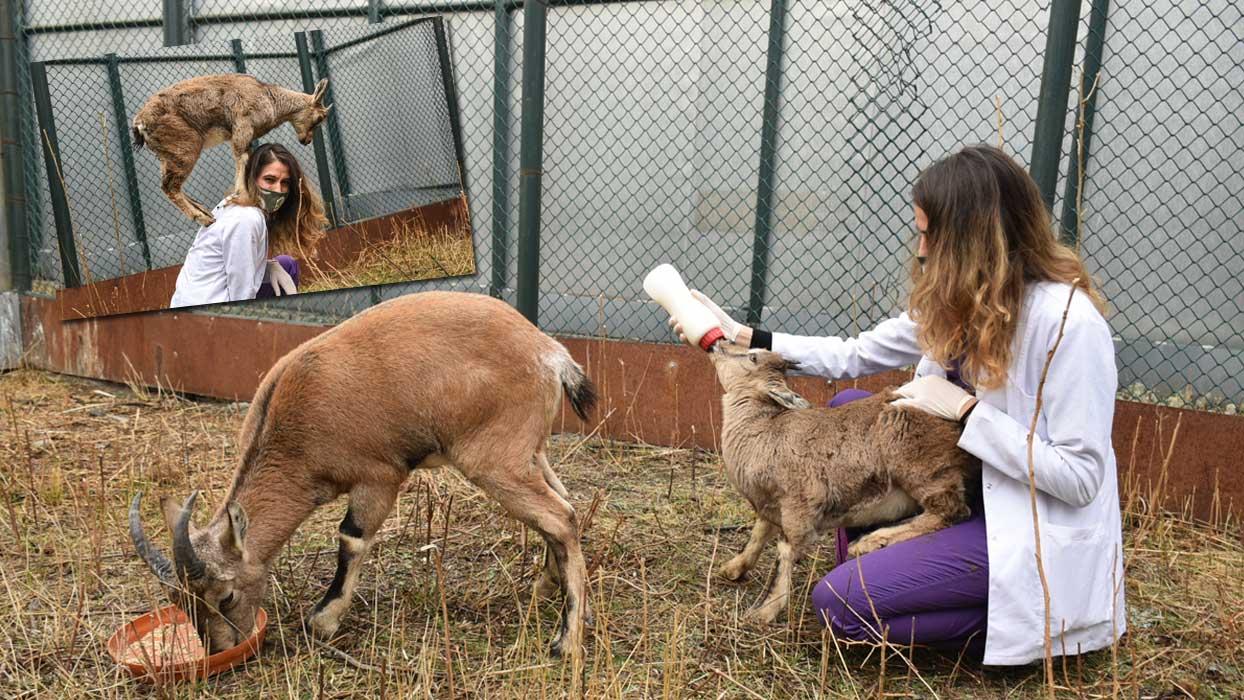 Dağ keçilerine bebek bakımı