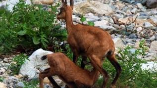 İşte Erzincan'ın dağ keçileri