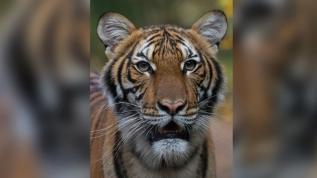 New York'ta hayvanat bahçesindeki kaplan Nadia'nın testi pozitif çıktı