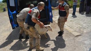 Gaziantep'te çalınan Sürmeli isimli keçi, bir hafta sonra bulunup sahibine teslim edildi