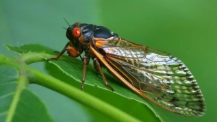 ABD'de kabus bitmiyor! Önce korona sonra eşek arıları şimdi de... Topraktan çıkmaya başladılar