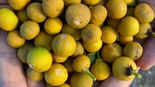 Sıcak havalar narenciye ağaçlarını vurdu: Meyvelerin yüzde 70'i döküldü