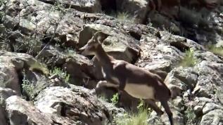 Erzurumlu dağ keçisi