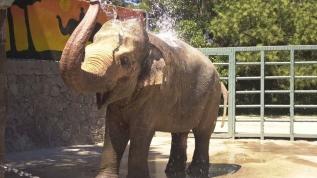Hindistan'da hamile filin 'vahşice' öldürülmesine tepki
