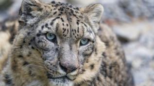 Kırgızistan'da 15 kar leoparı tespit edildi